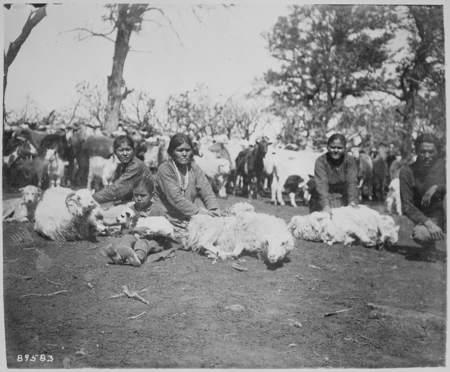 Navajo women and girls shearing sheep together