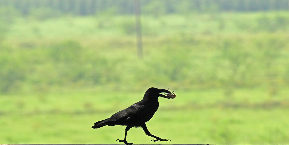 A crow walking against a muted natural background with a crab in its mouth.