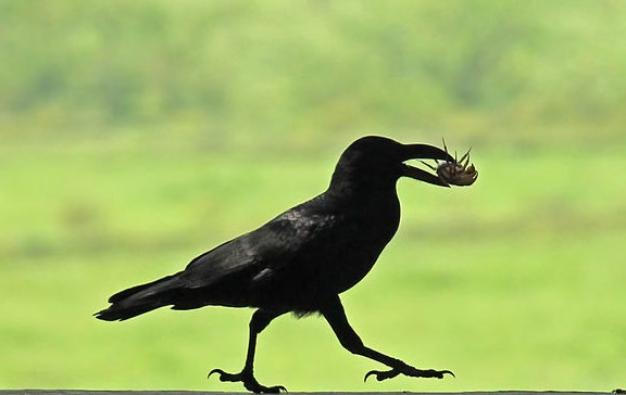 The Intelligent Crow: Exploring Human-Animal Relationships Cross-Culturally