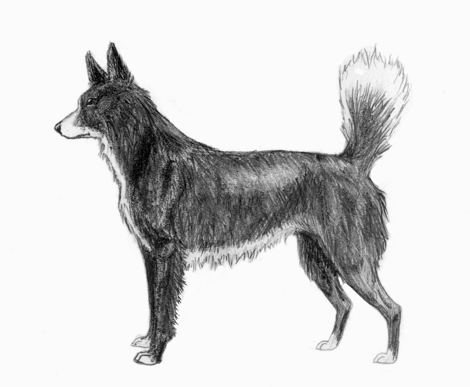 A drawing of a Tahltan Bear Dog