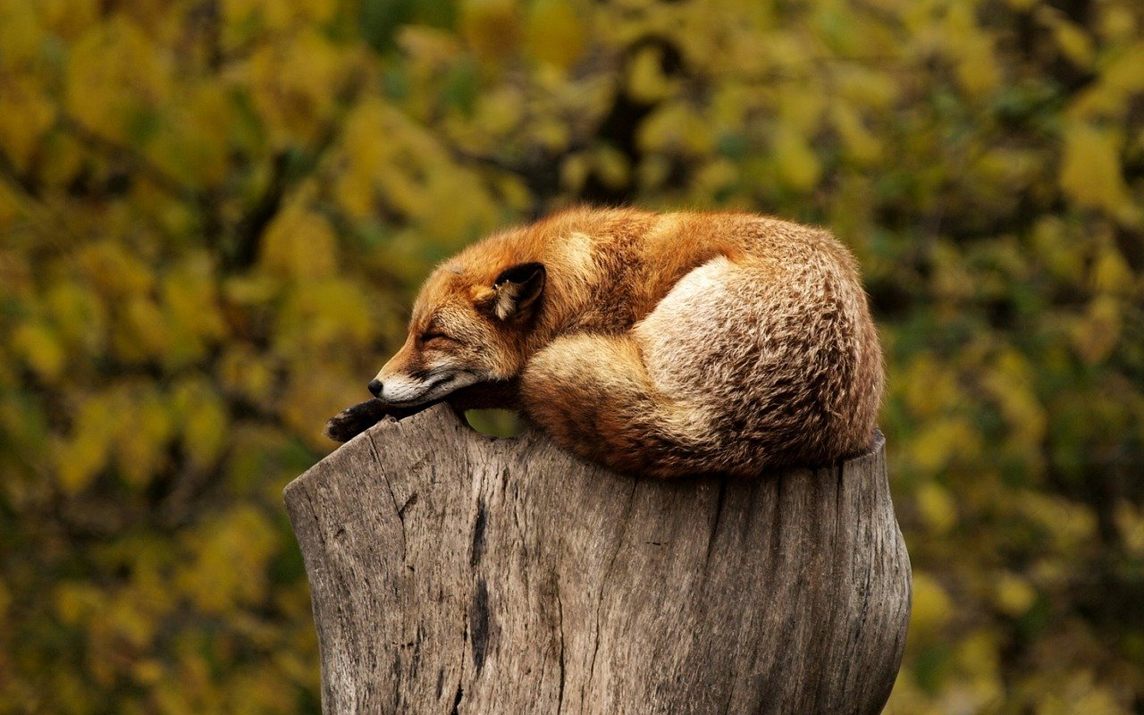 fox sleeping in forest