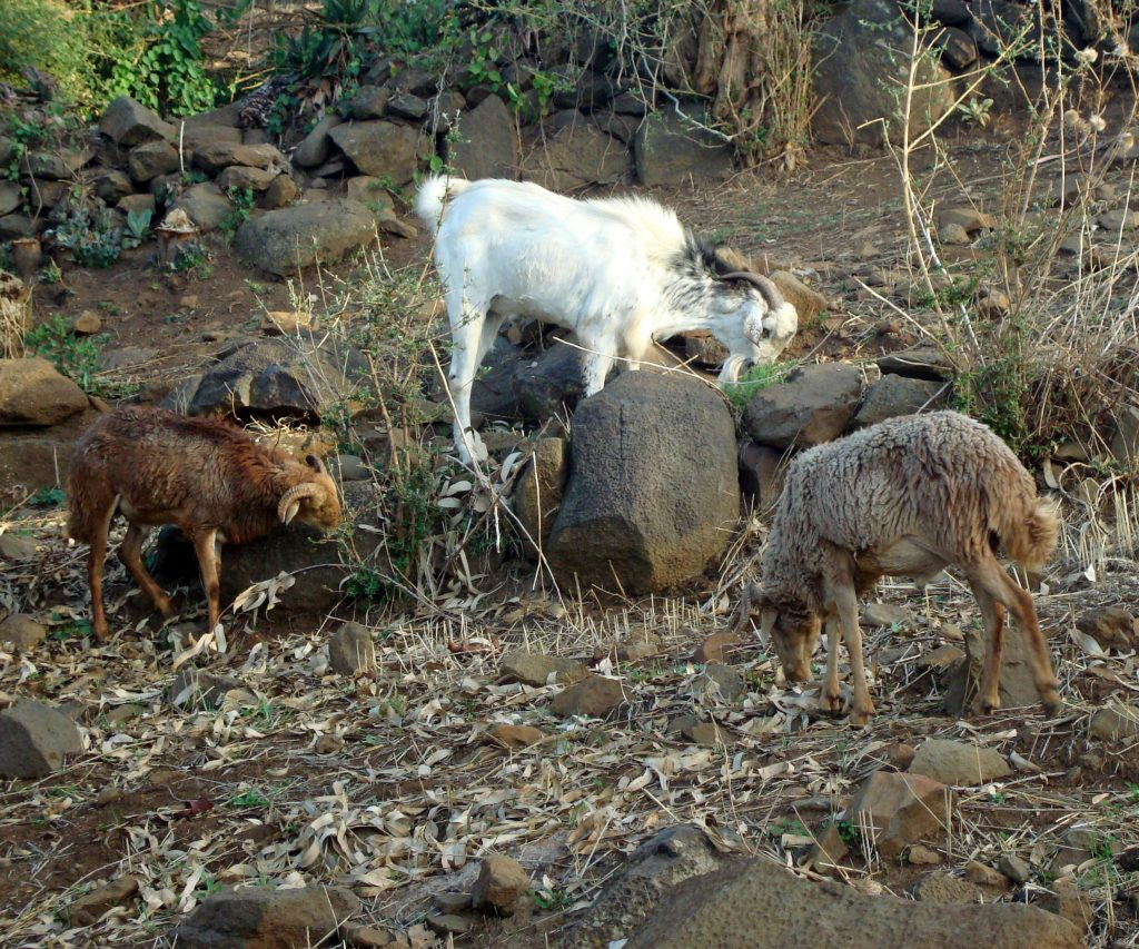 Goats in highland community