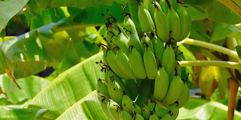 banana tree with leaves